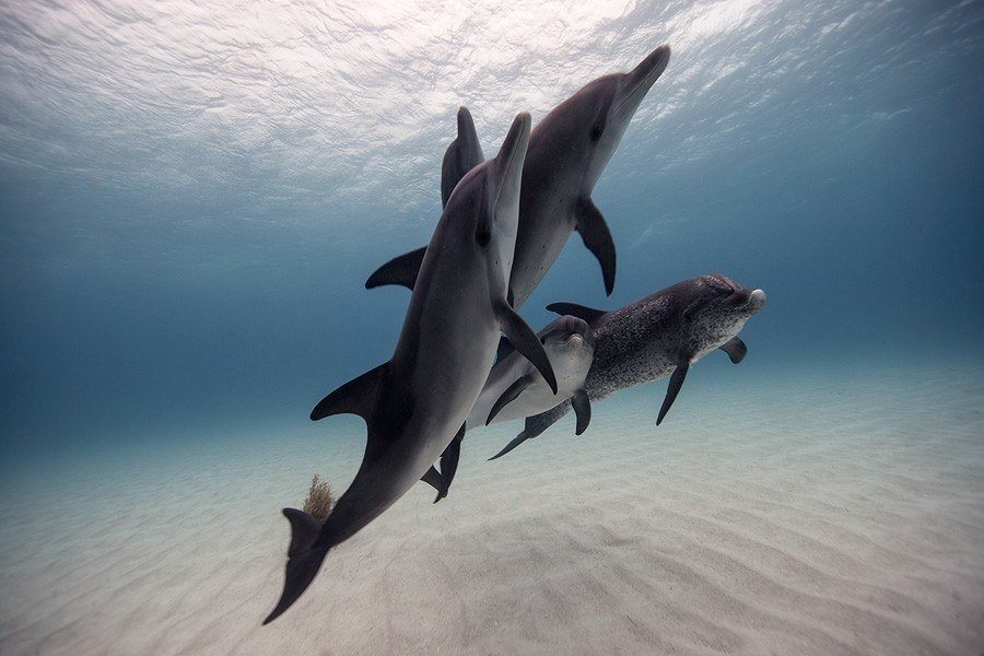 underwater animal photography dolphin pod