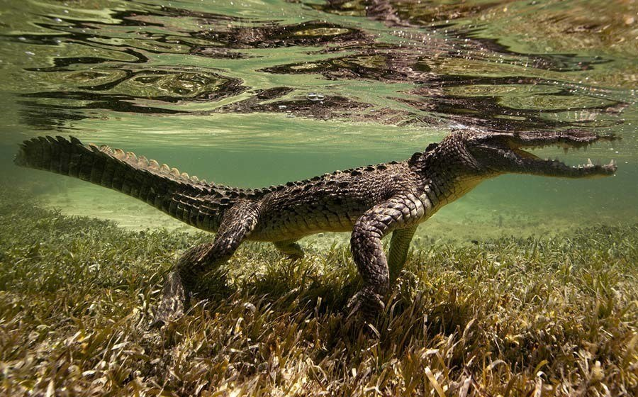 underwater animal photography peeking croc