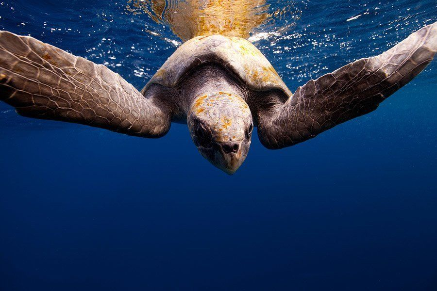 underwater animal photography sea turtle
