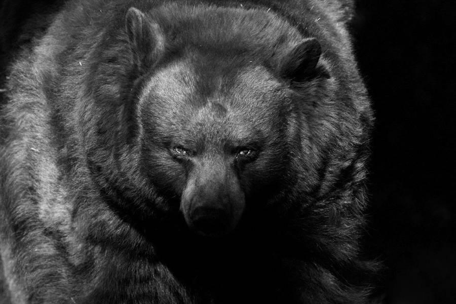 Bear Portrait Piercing Eyes
