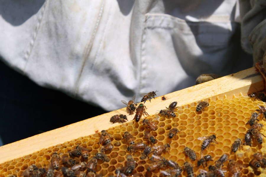 Bee Life Honeycomb