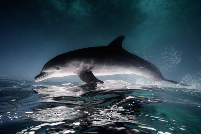 Dolphin Swimming Upside Down