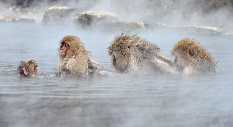 Japanese Macaque Jigokudani Monkey Park