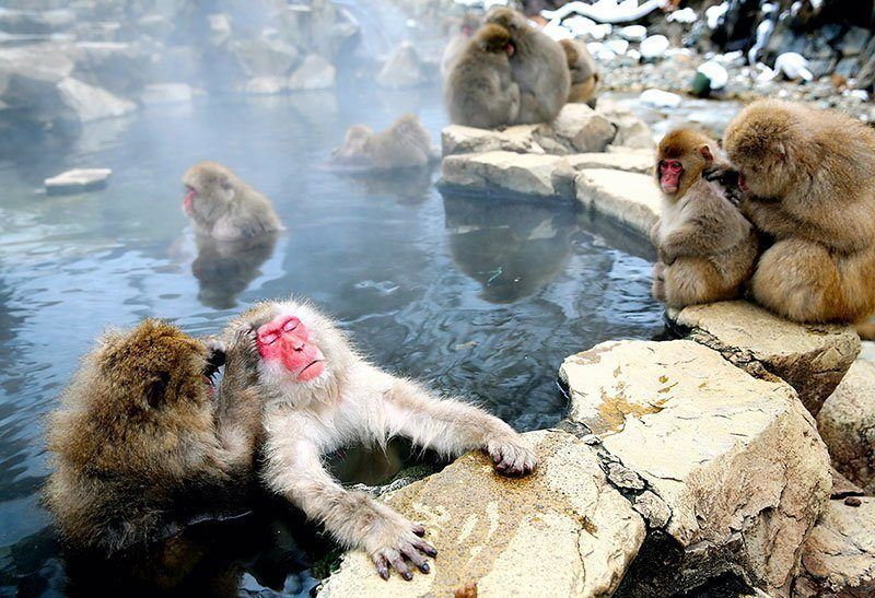 Snow Monkeys in Hot Springs