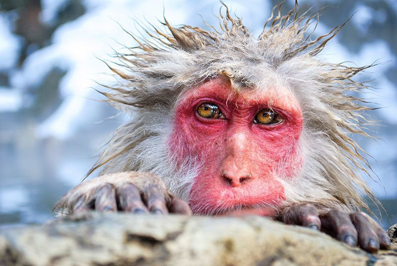 Snow Monkey Up Close