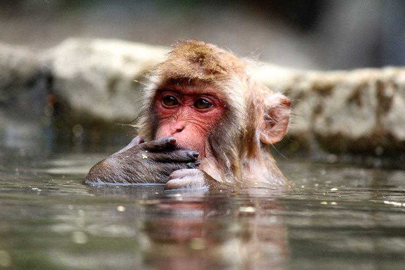 Jigokudani Monkey Park Hot Springs