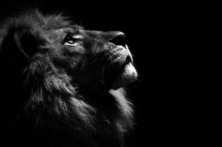Lion Portrait Black White
