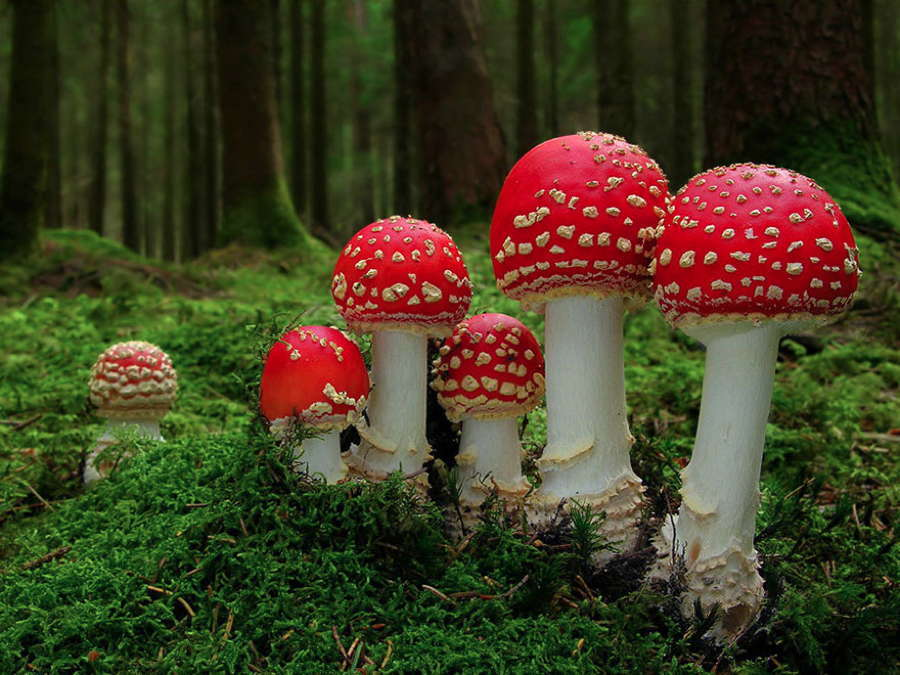 Coolest Mushrooms Amanita