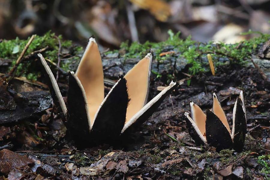 Coolest Mushrooms Chorioactis