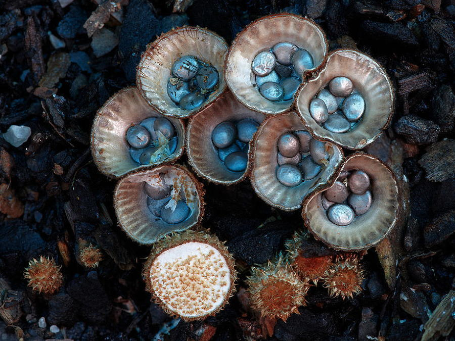 Coolest Mushrooms Cyathus