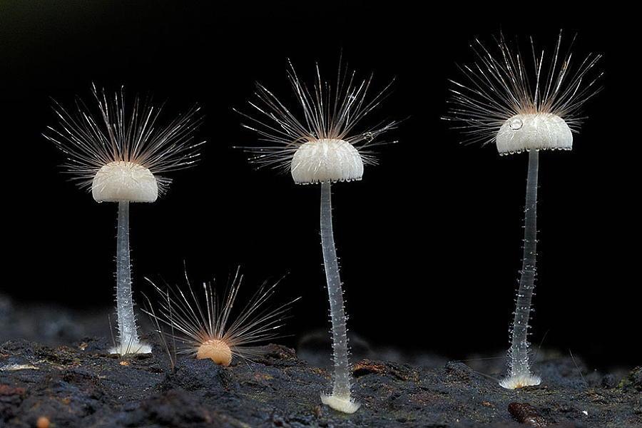 Coolest Mushrooms Mycena