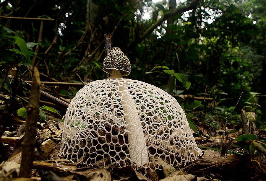 Phallus Mushroom