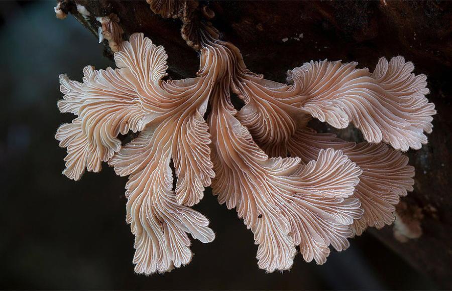 Schizophyllum Commune