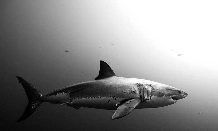 Shark Black And White