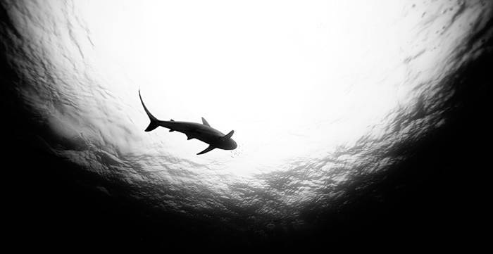 Shark Swimming From Below
