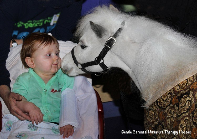 Miniature Therapy Horses Boy