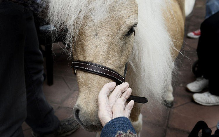 Miniature Therapy Horses Closeup