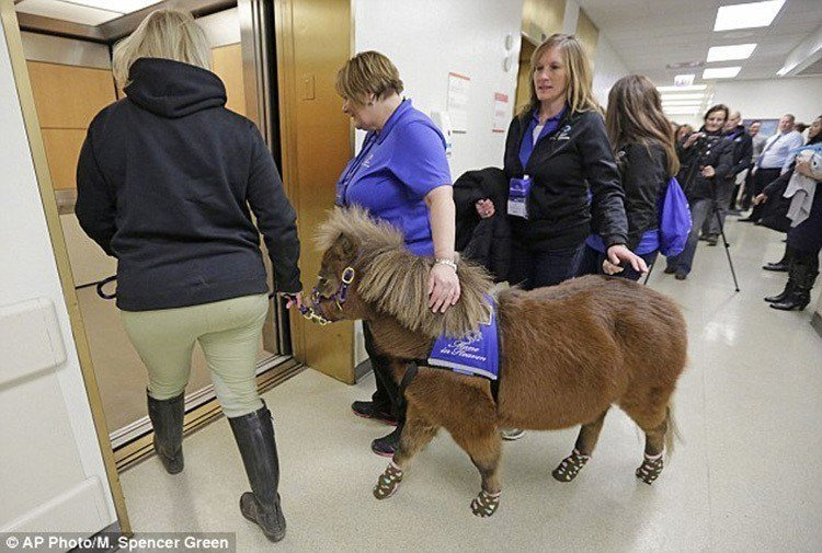 Miniature Therapy Horses Elevator