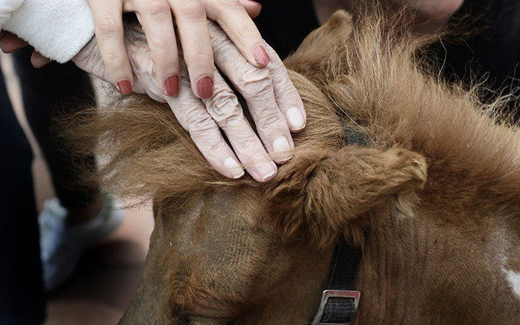 Miniature Therapy Horses Hands