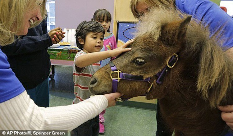 Miniature Therapy Horses Pet