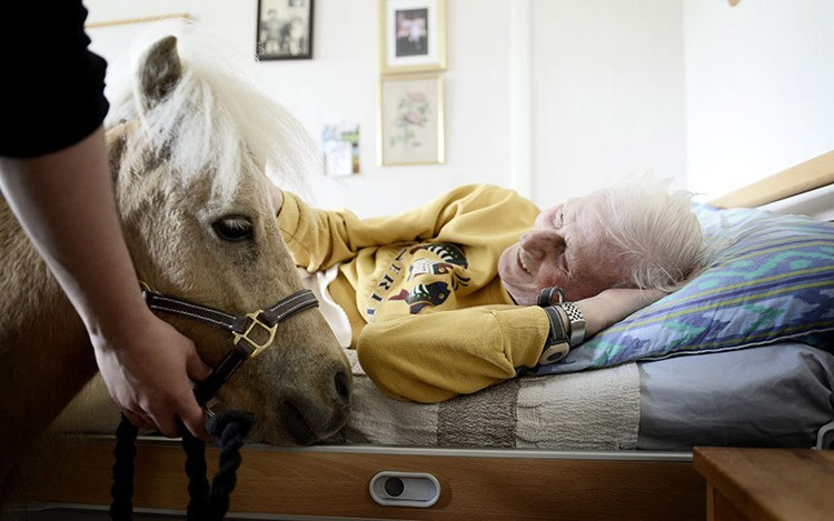 Miniature Therapy Horses Laying
