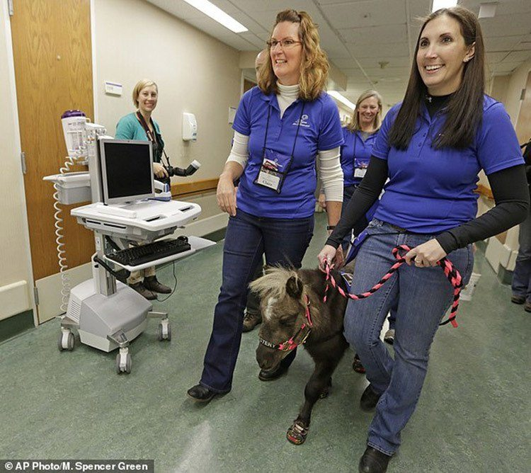 Miniature Therapy Horses Trotting