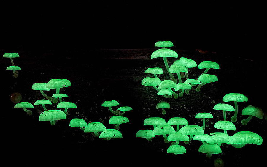 Mushrooms Mycena Chlorophos Glowing