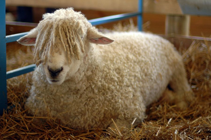 scariest contraceptives sheep urine