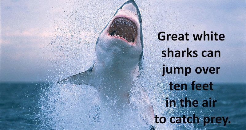 facts about the great white Recognised as one of the most fearsome marine predators that patrols the world's oceans, the great white shark is one majestic animal perfectly designed for power and speed in the water, it cuts quite a figure as it hunts for food under the waves.