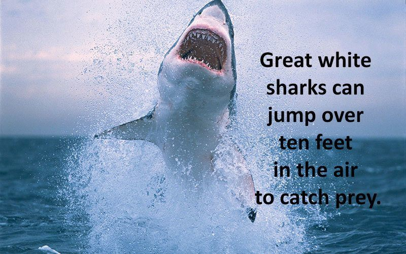 Jumping Ability Of Great White Sharks