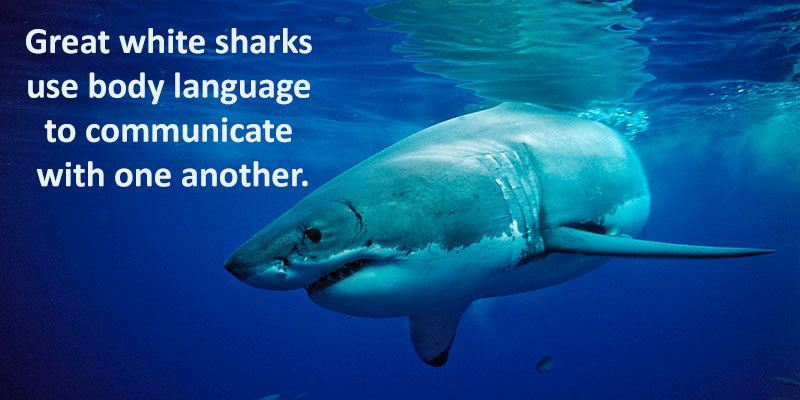 facts about the great white Interesting facts and information about the great white shark, the most  recognised species of shark find out more about their anatomy, diet, and more.