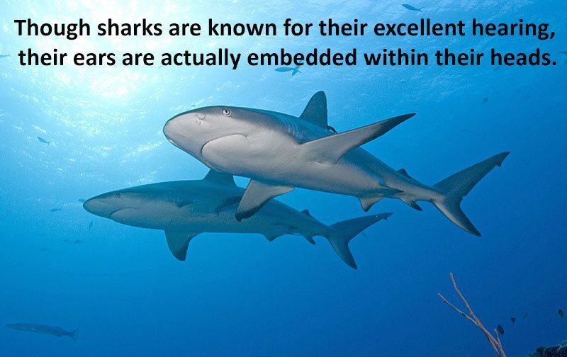 Sharks Excellent Hearing