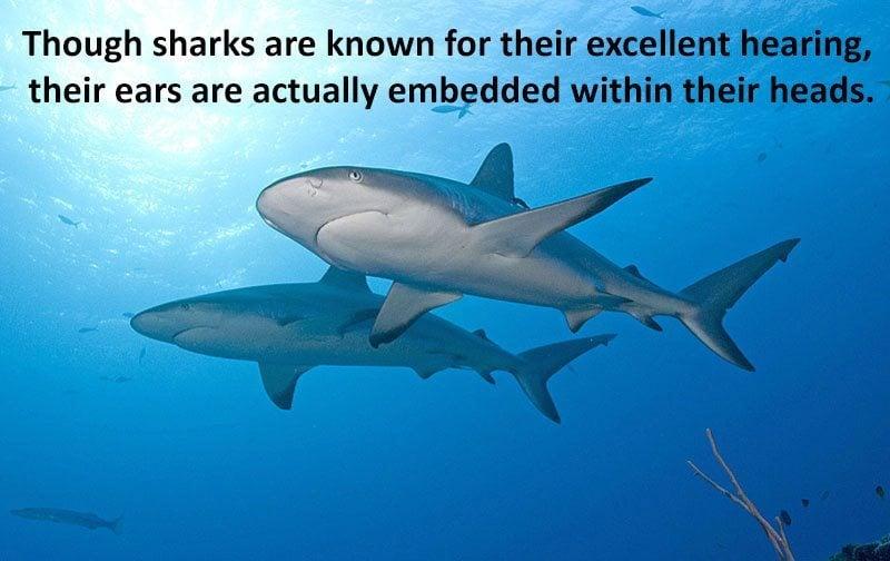 Sharks Hearing Ability