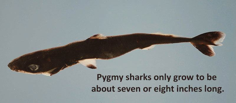 Pygmy Shark Size