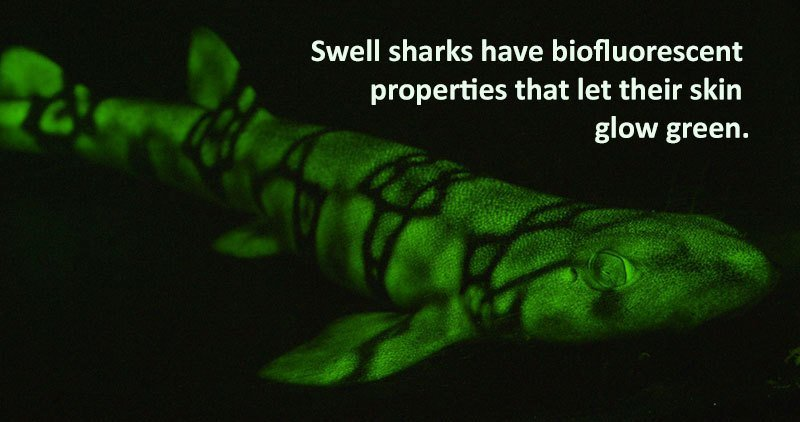 Swell Shark Facts