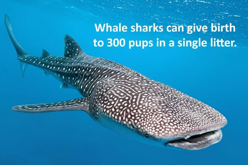 Whale Sharks Babies