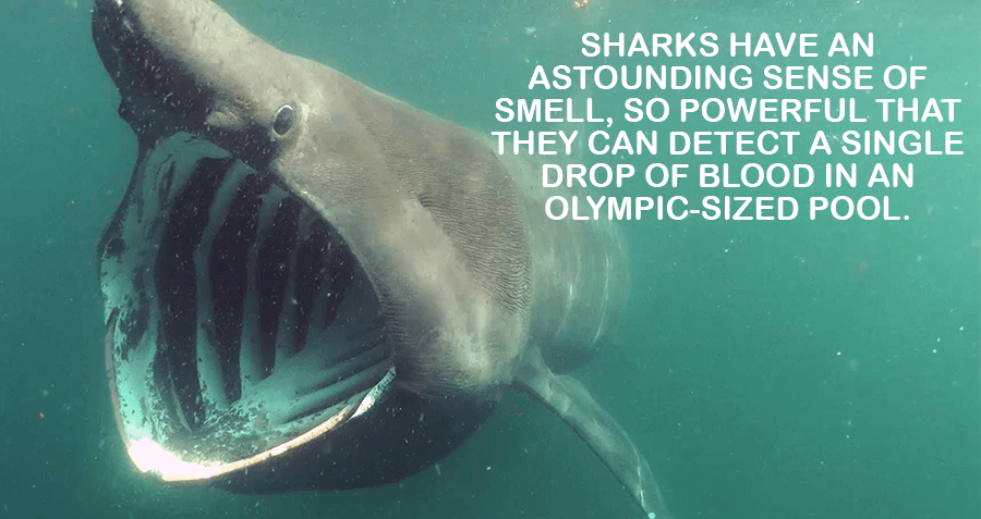 Interesting Shark Facts Sense Of Smell