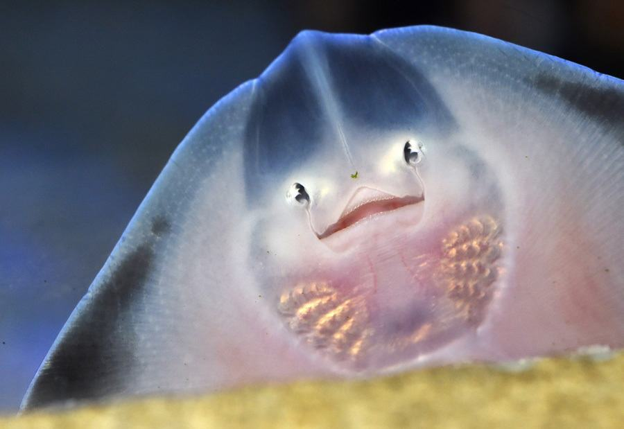 AquaDom Baby Ray