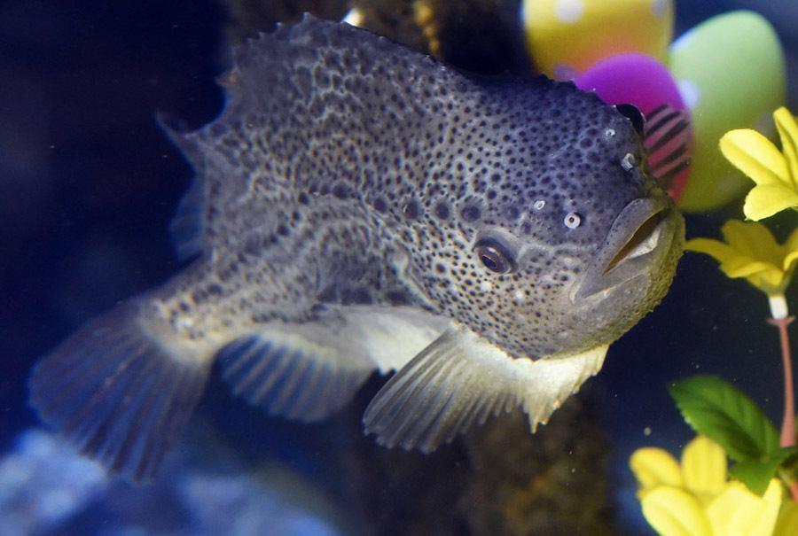 AquaDom Lumpfish