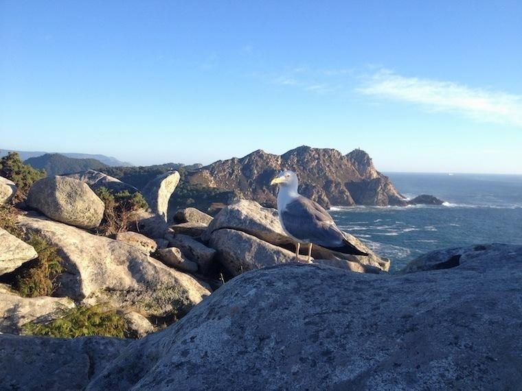 Cies Islands Nature Seagull