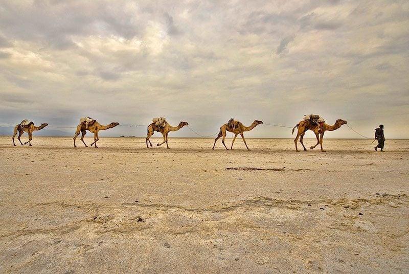 Danakil Depression Camels