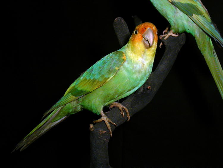 De-Extinction Carolina Parakeet