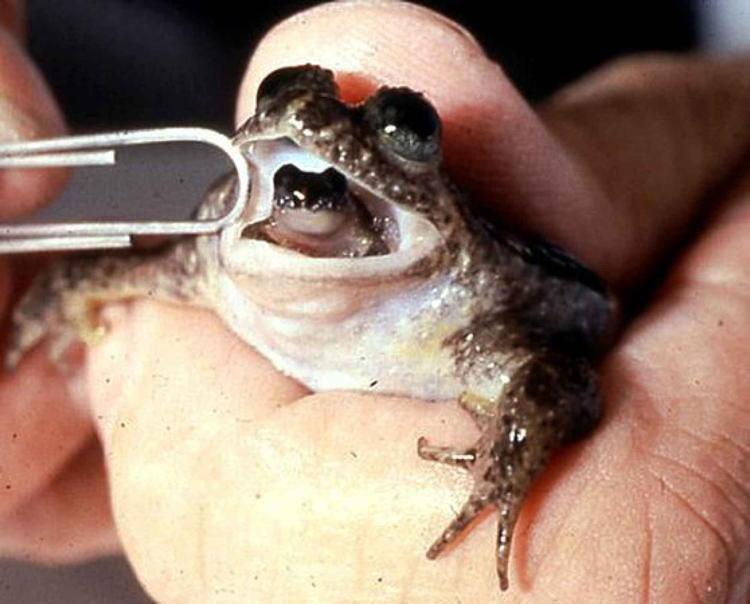 De-Extinction Gastric Brooding Frog
