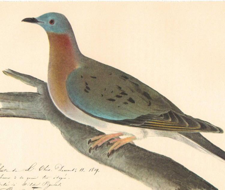 De-Extinction Passenger Pigeon