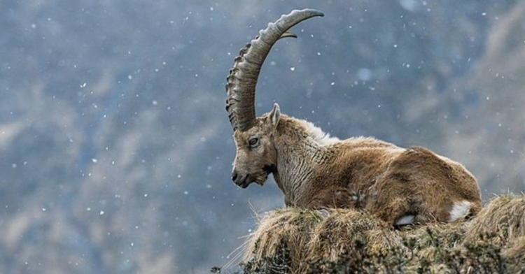 De-Extinction Pyrenean Ibex