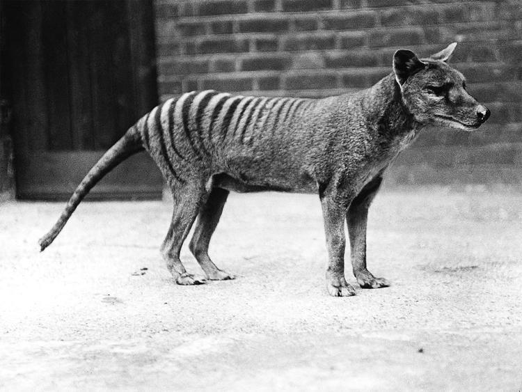 De-Extinction Tasmanian Tiger