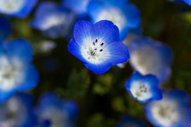 Hitachi Seaside Park Blooms Close