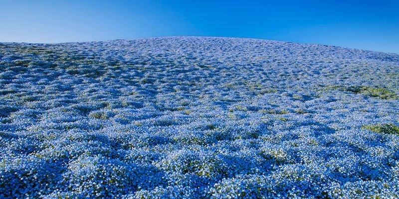 Hitachi Seaside Park Blue Blooms