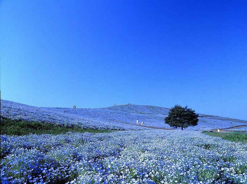 Hitachi Seaside Park Blue