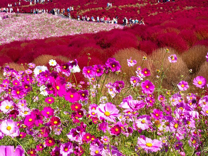 Hitachi Seaside Park Cosmos Tourists